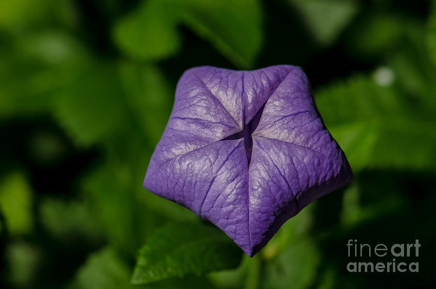 Purple Balloon Flower Photograph  - Purple Balloon Flower Fine Art Print