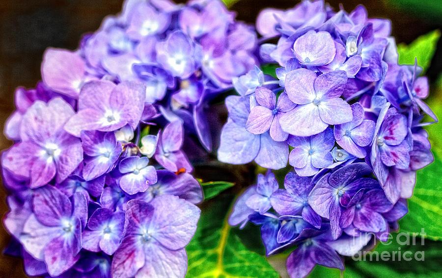 Purple Hydrangea Photograph