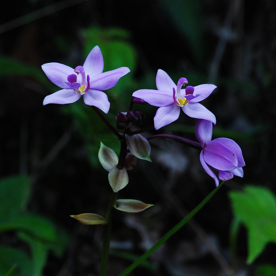 Purple Orchids 2 Photograph