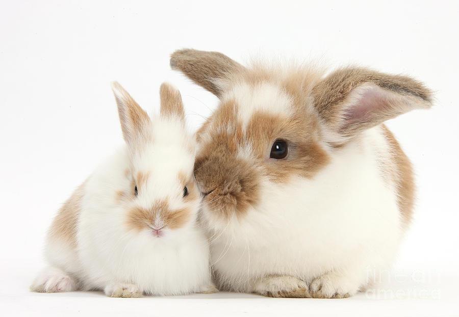 brown dwarf baby rabbits - photo #26