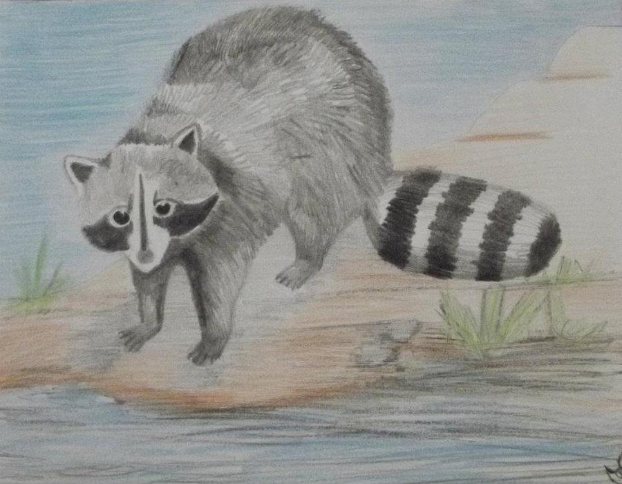 Raccoon Drawing by Sharon Boggs Raccoon Drawing