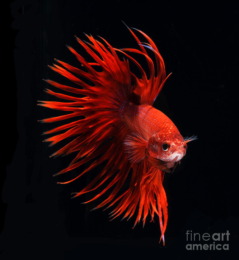 Red Betta Fish Photograph  - Red Betta Fish Fine Art Print