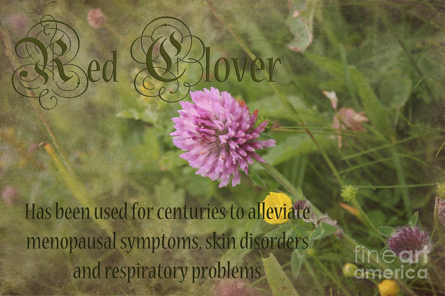 Red Clover Photograph