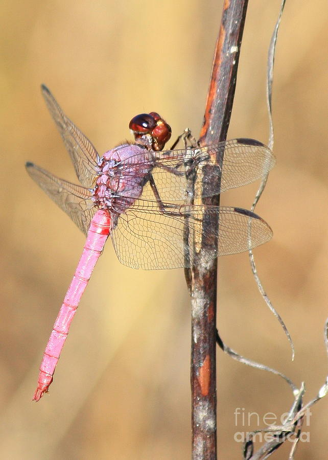 Red Dragonfly Portrait Photograph  - Red Dragonfly Portrait Fine Art Print