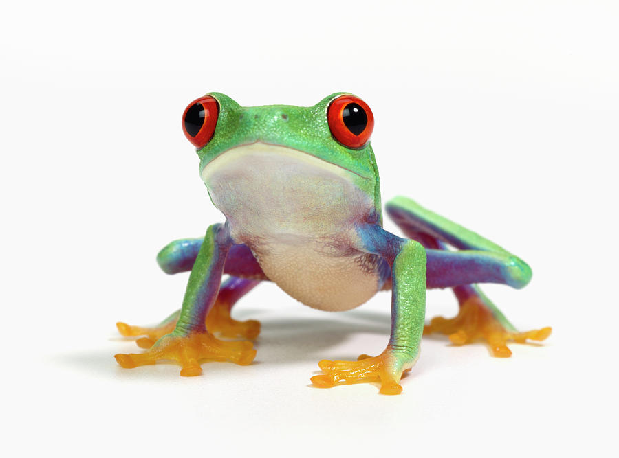 Tree frog white background
