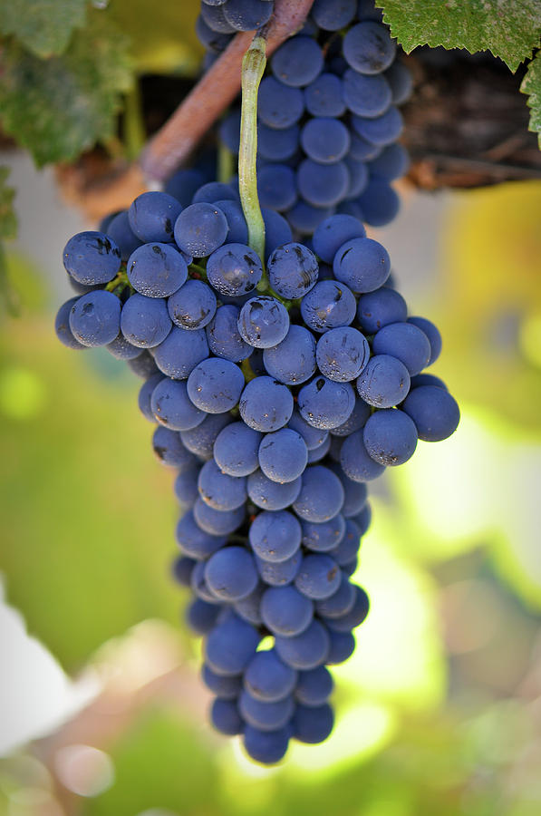 Red Grapes Photograph  - Red Grapes Fine Art Print