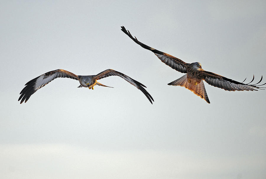 Red Kite Kites Wales Gigrin Farm Forked Tail Red Colour Bird Red Kite Photograph - red Kites. by Andrew Chittock