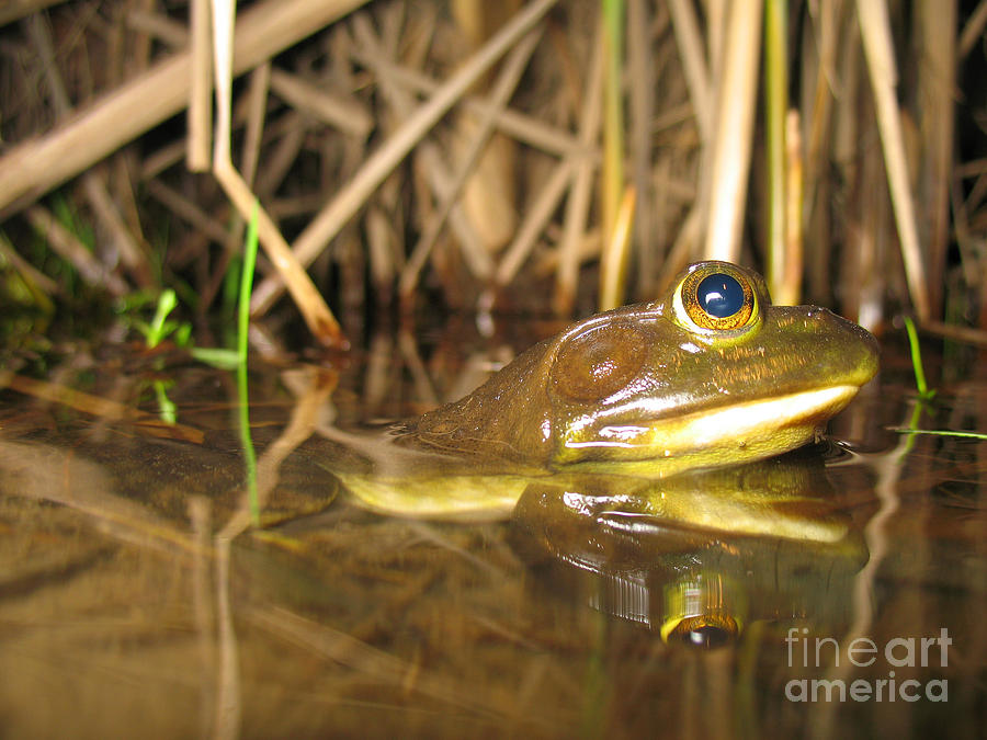 Resting Bullfrog Photograph