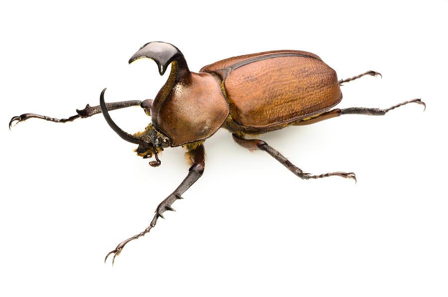 Golofa Pizarro Photograph - Rhinoceros Beetle by Lawrence Lawry