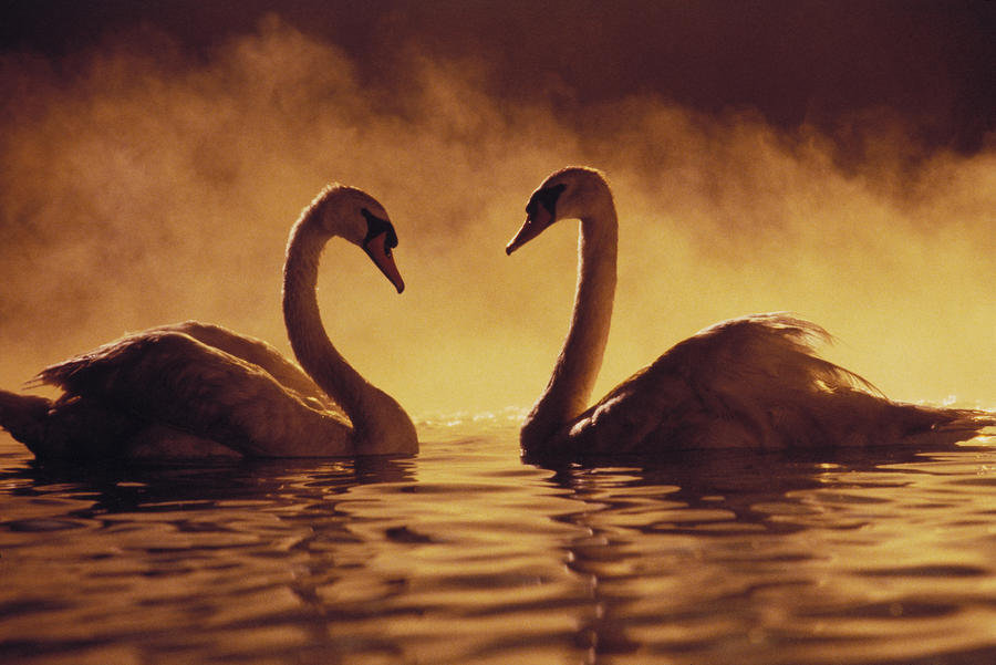 Romantic African Swans Photograph
