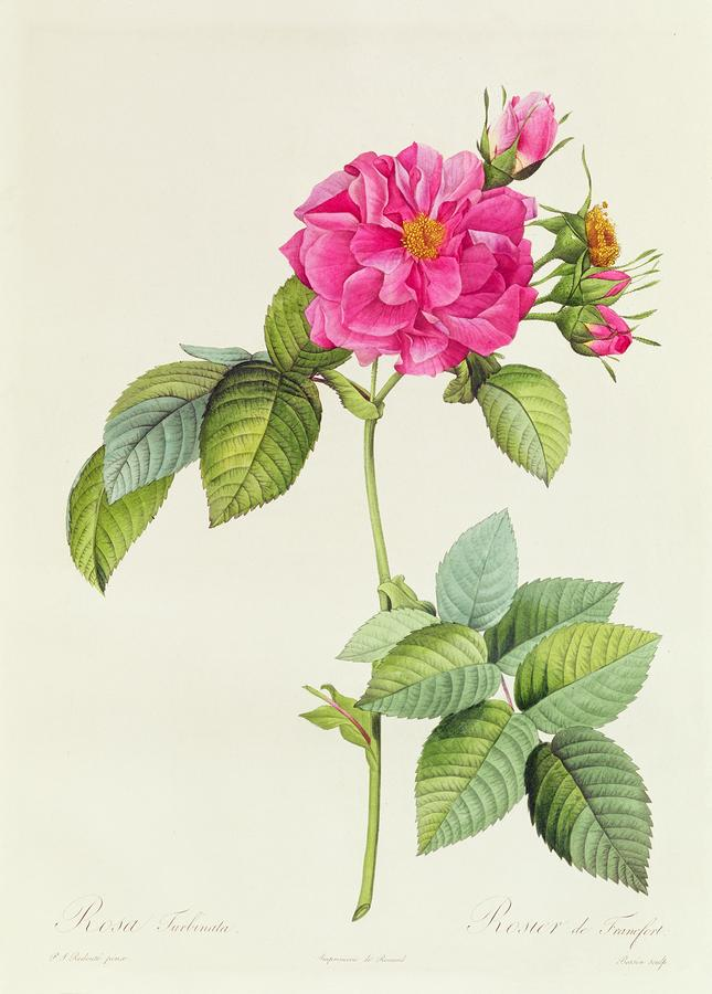 Rosa Turbinata Drawing  - Rosa Turbinata Fine Art Print