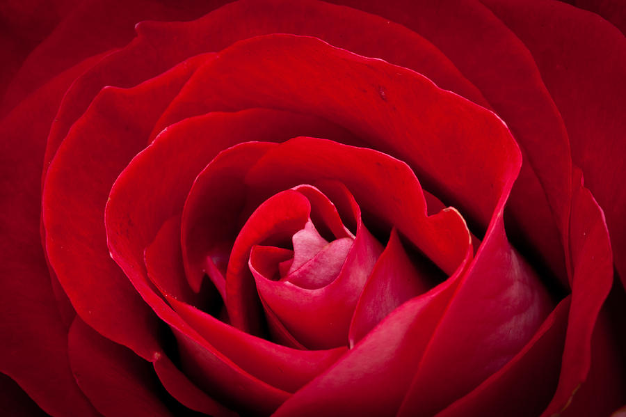 Rose Photograph  - Rose Fine Art Print