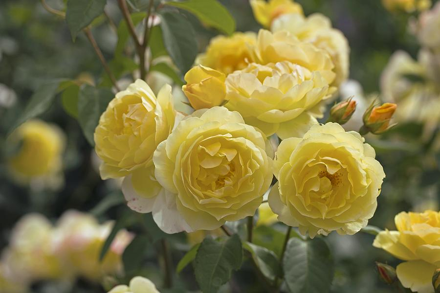 Roses Photograph - Rose (rosa charlotte Auspoly) by Dr Keith Wheeler