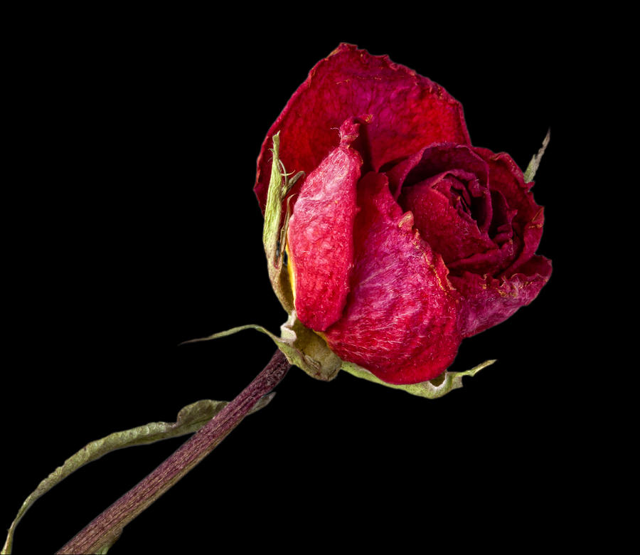 Rose Still Life  Photograph  - Rose Still Life  Fine Art Print