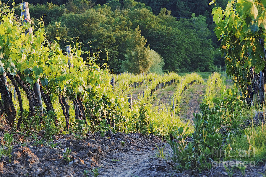 Rows Of Grapevines At Sunset Photograph