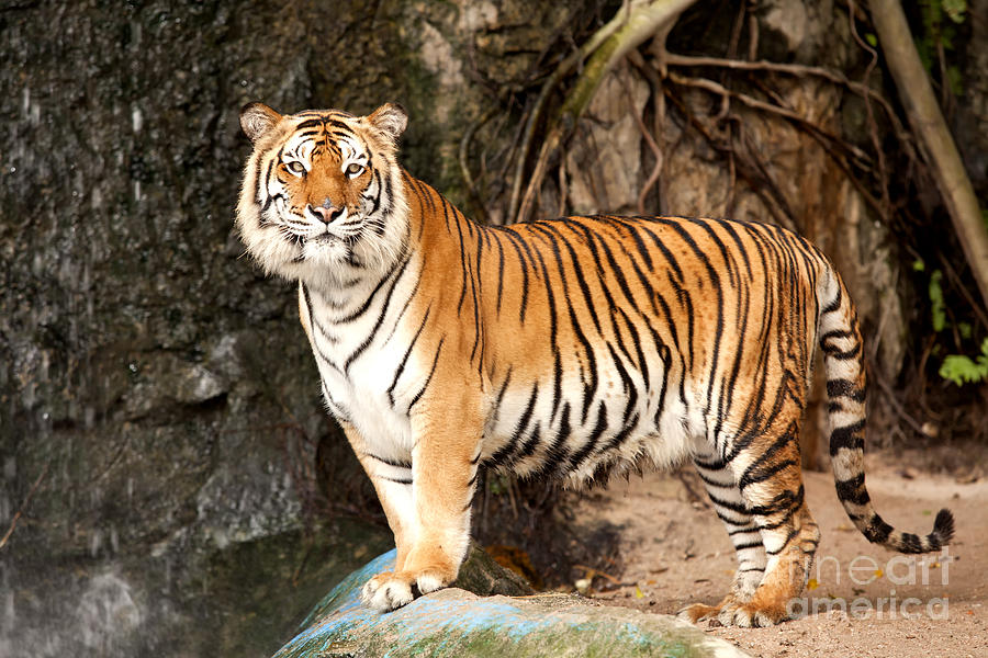 Royal Bengal Tiger Photograph