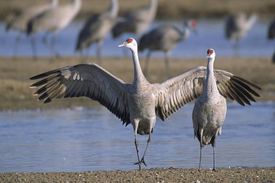 Sandhill Cranes Roost Along The Platte Photograph