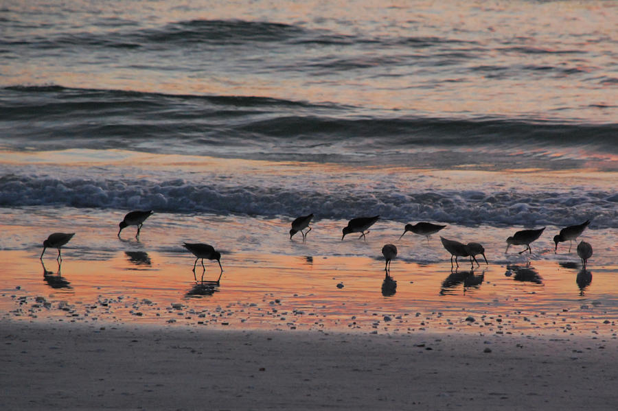 Sandpipers On Siesta Key Photograph  - Sandpipers On Siesta Key Fine Art Print