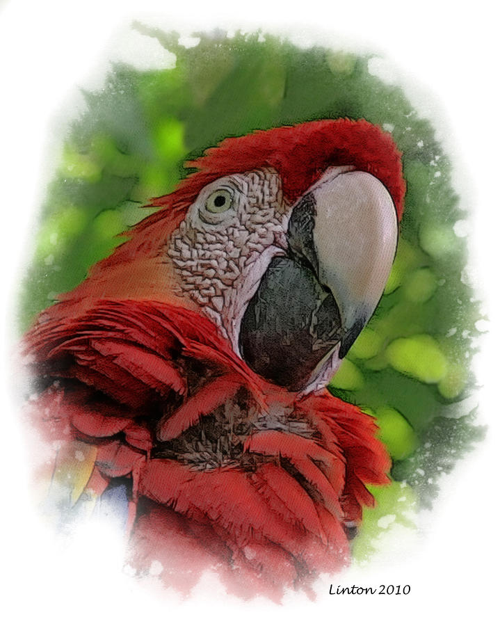 Scarlet Macaw Digital Art  - Scarlet Macaw Fine Art Print