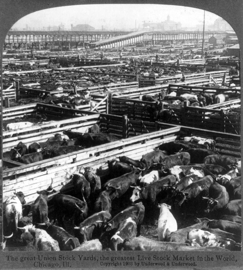 Scene In The Great Union Stockyards Photograph  - Scene In The Great Union Stockyards Fine Art Print
