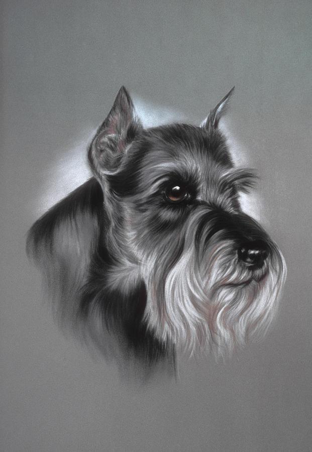 Dog Pastel - Schnauzer by Patricia Ivy
