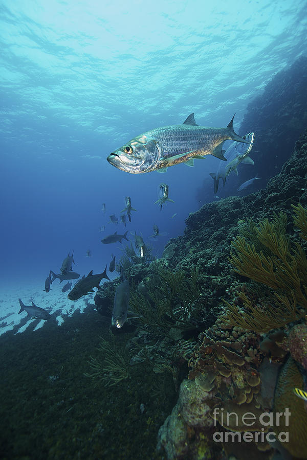 School Of Tarpon, Bonaire, Caribbean Photograph