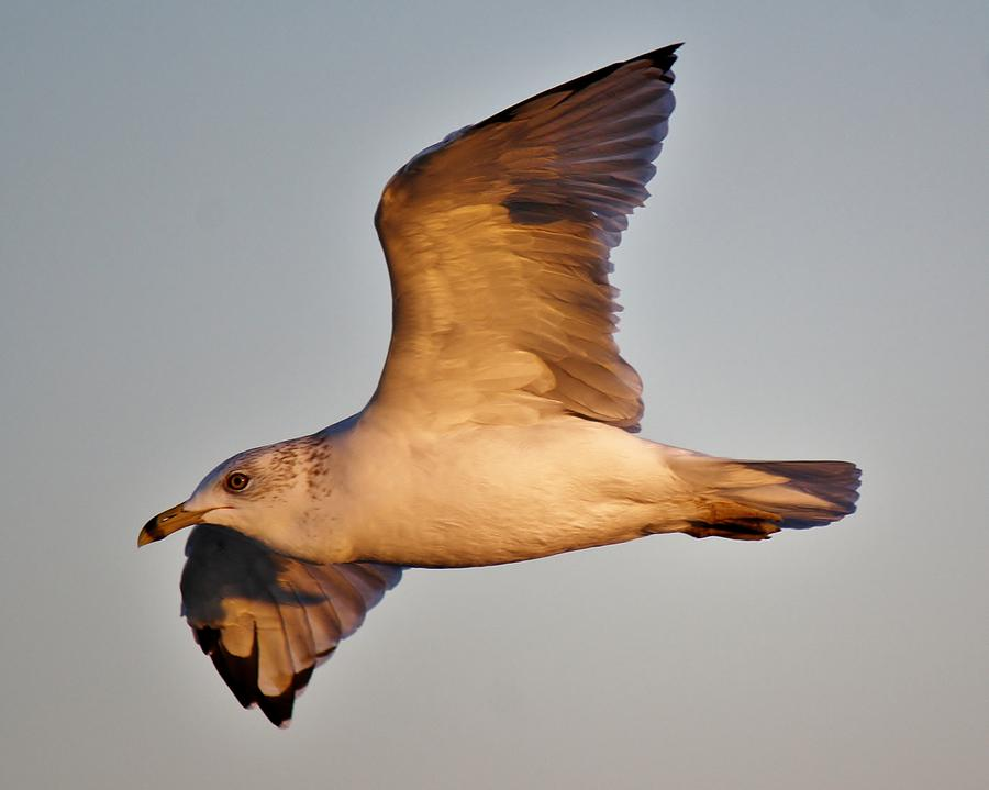 Sea Gull At Twilight Photograph