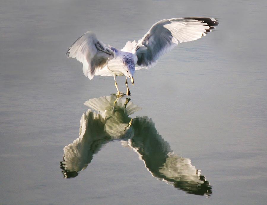 Sea Gull Reflection Photograph