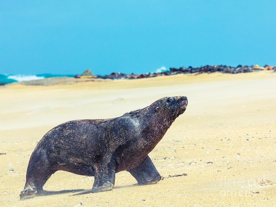 New Photograph - Sea Lion by MotHaiBaPhoto Prints