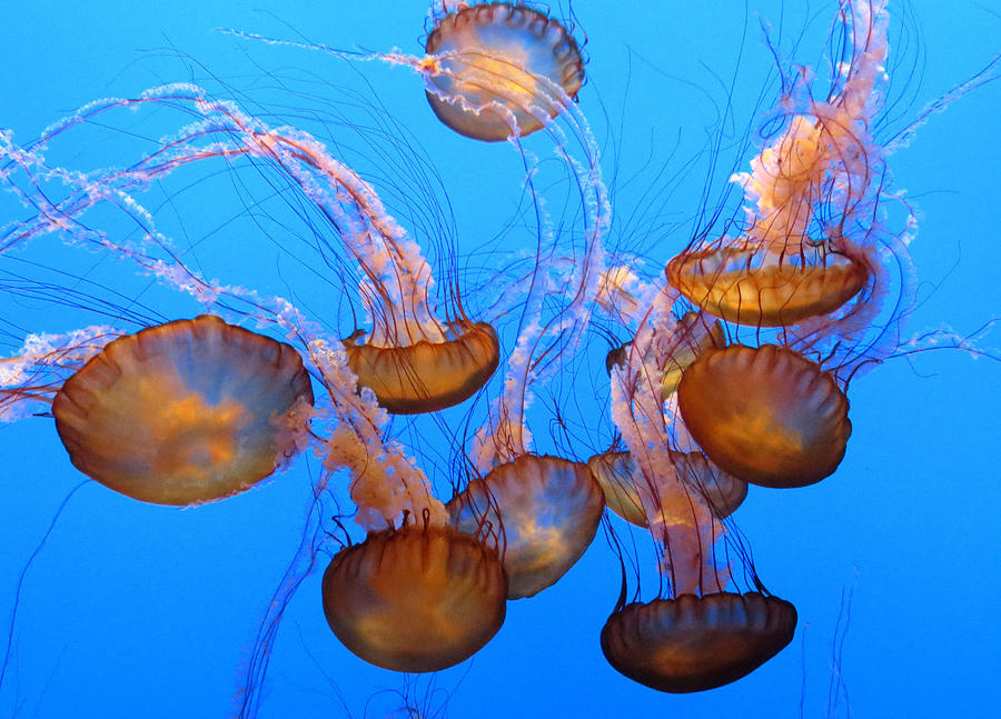 Sea Nettles Ballet 1 Photograph