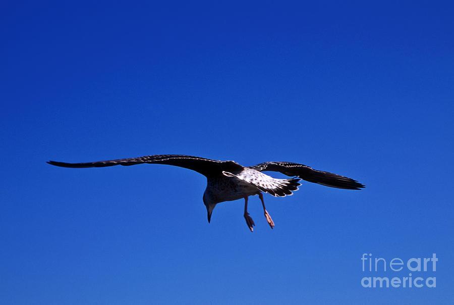 Seagull In Flight Photograph