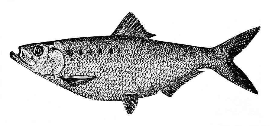 Biology Photograph - Shad by Granger