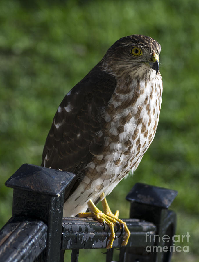 Sharp-shinned Hawk Photograph  - Sharp-shinned Hawk Fine Art Print