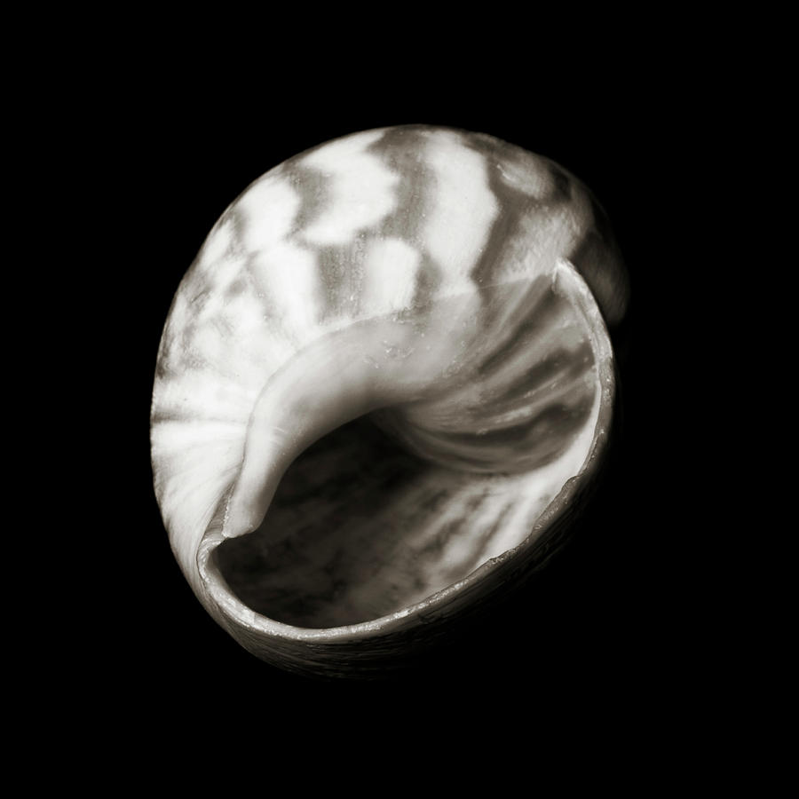 Shell - Sepia Tone Photograph