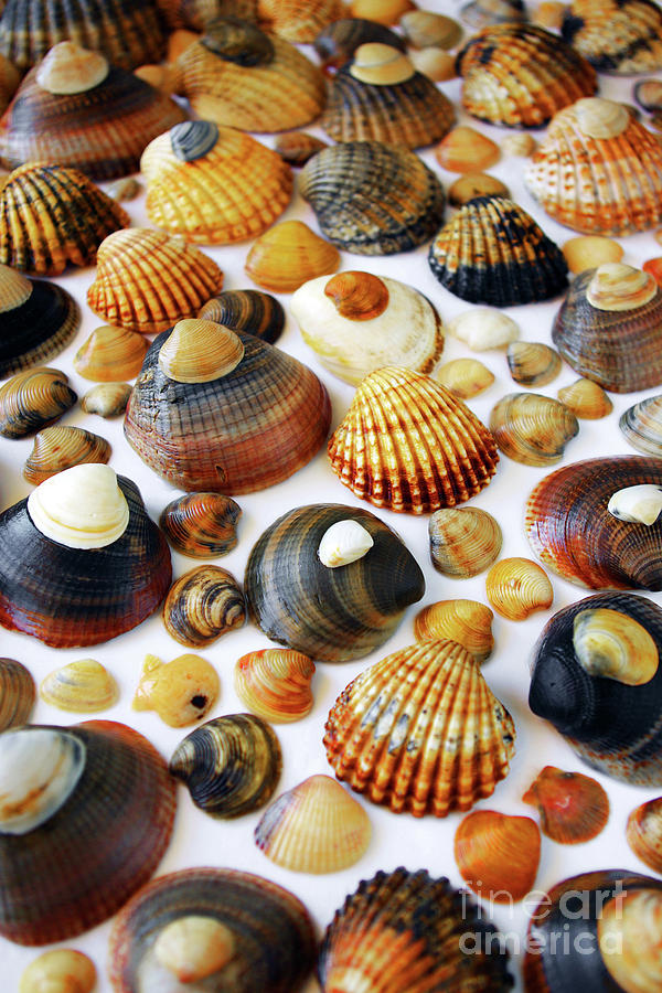 Shell Background Photograph