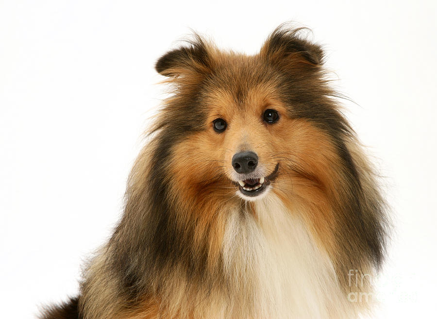 Sheltie Photograph