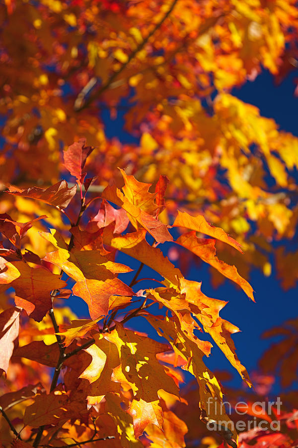 Sierra Autumn Leaves In Orange And Gold Photograph