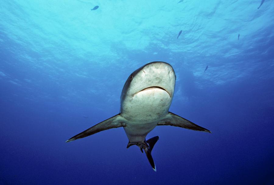 Silvertip Shark Photograph