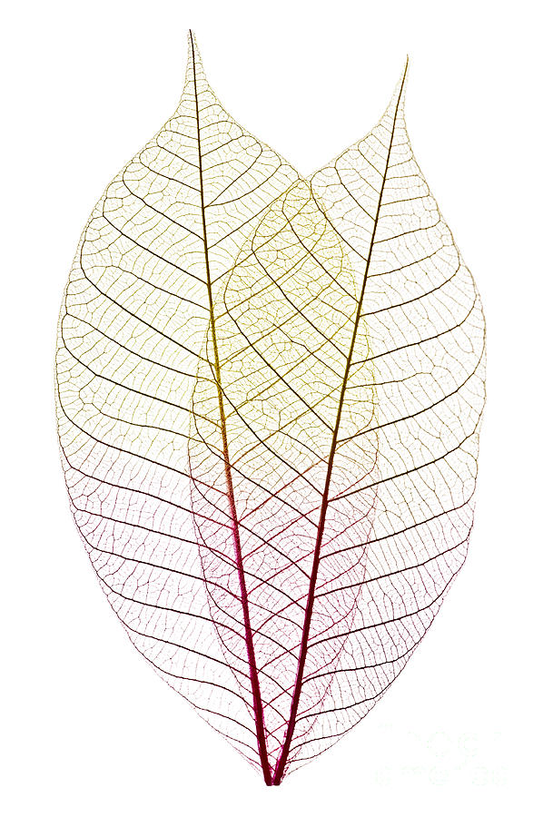Skeleton Leaves Photograph  - Skeleton Leaves Fine Art Print