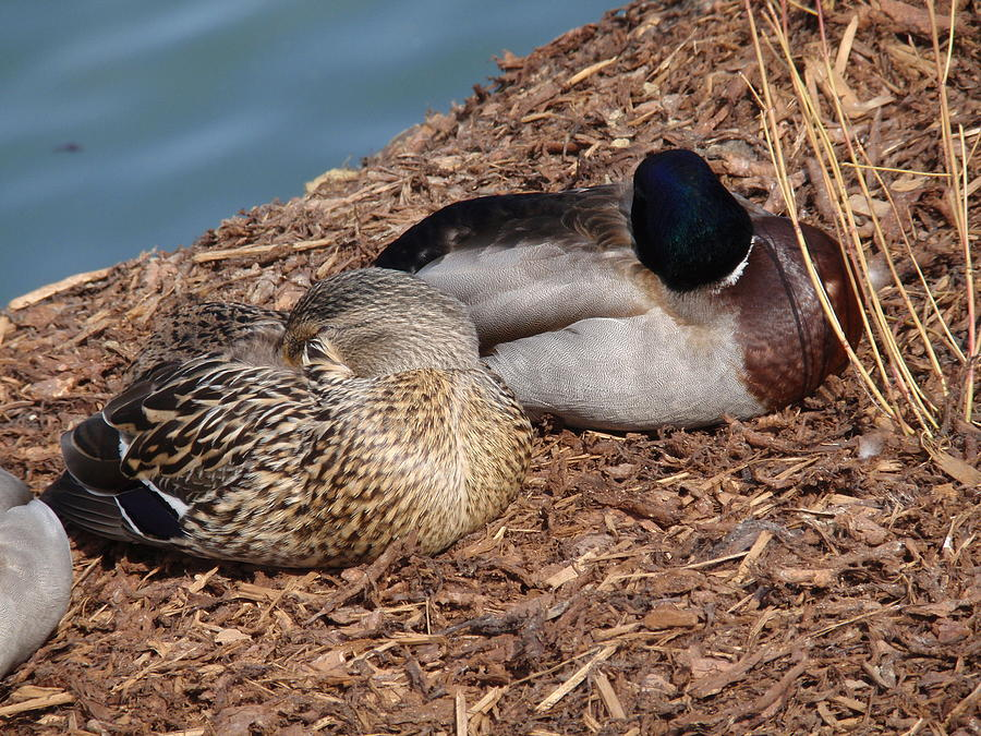 Sleeping Ducks Photograph  - Sleeping Ducks Fine Art Print
