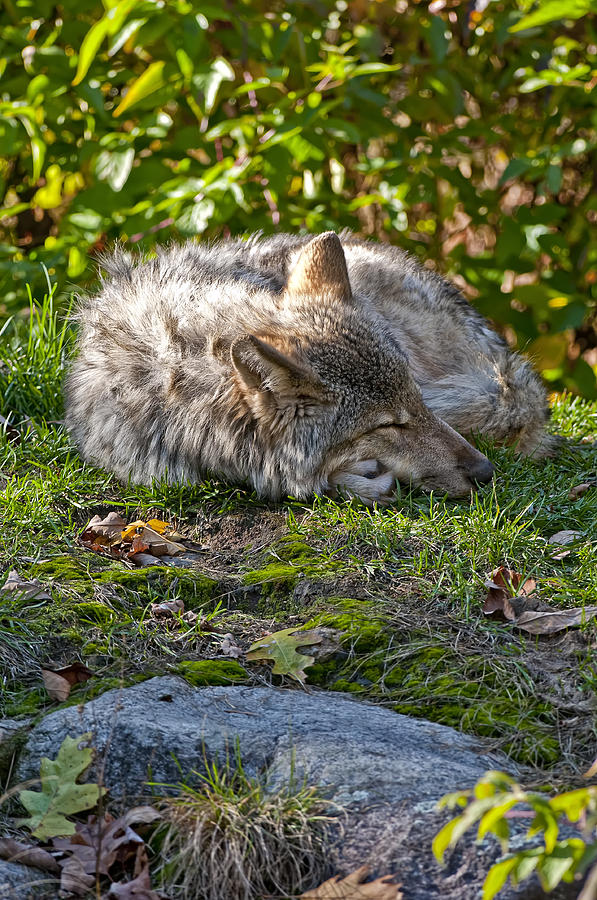 Sleeping Timber Wolf Photograph