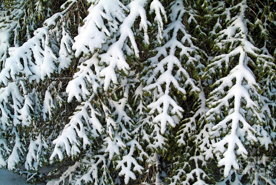 Branch Photograph - Snowy Fir Tree by Sami Sarkis