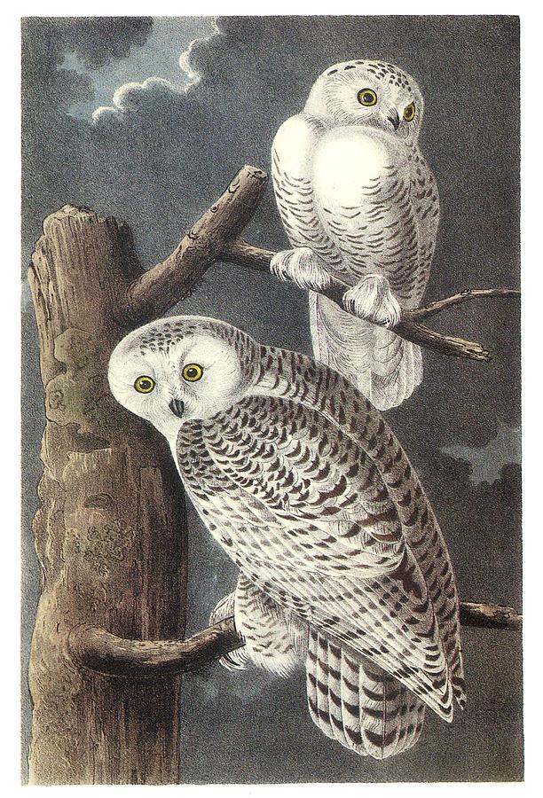 The Gallery For John James Audubon Owls
