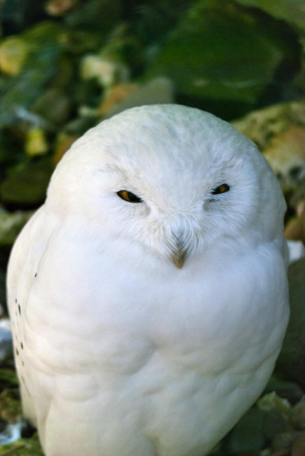 Snowy Photograph - Snowy Owl by Design Windmill