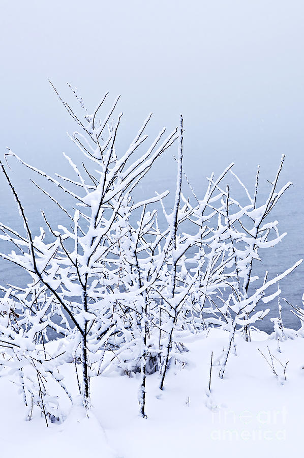 Snowy Trees Photograph  - Snowy Trees Fine Art Print