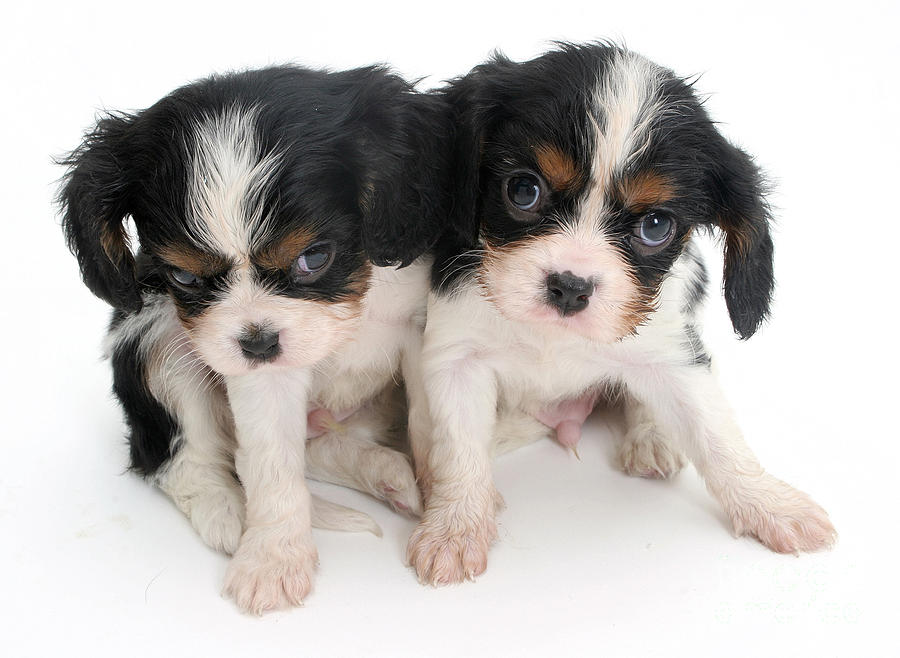Spaniel Puppies Photograph