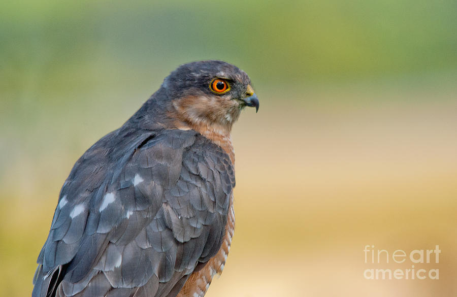 Sparrow Hawk Photograph: fineartamerica.com/featured/1-sparrow-hawk-margaret-s-sweeny.html