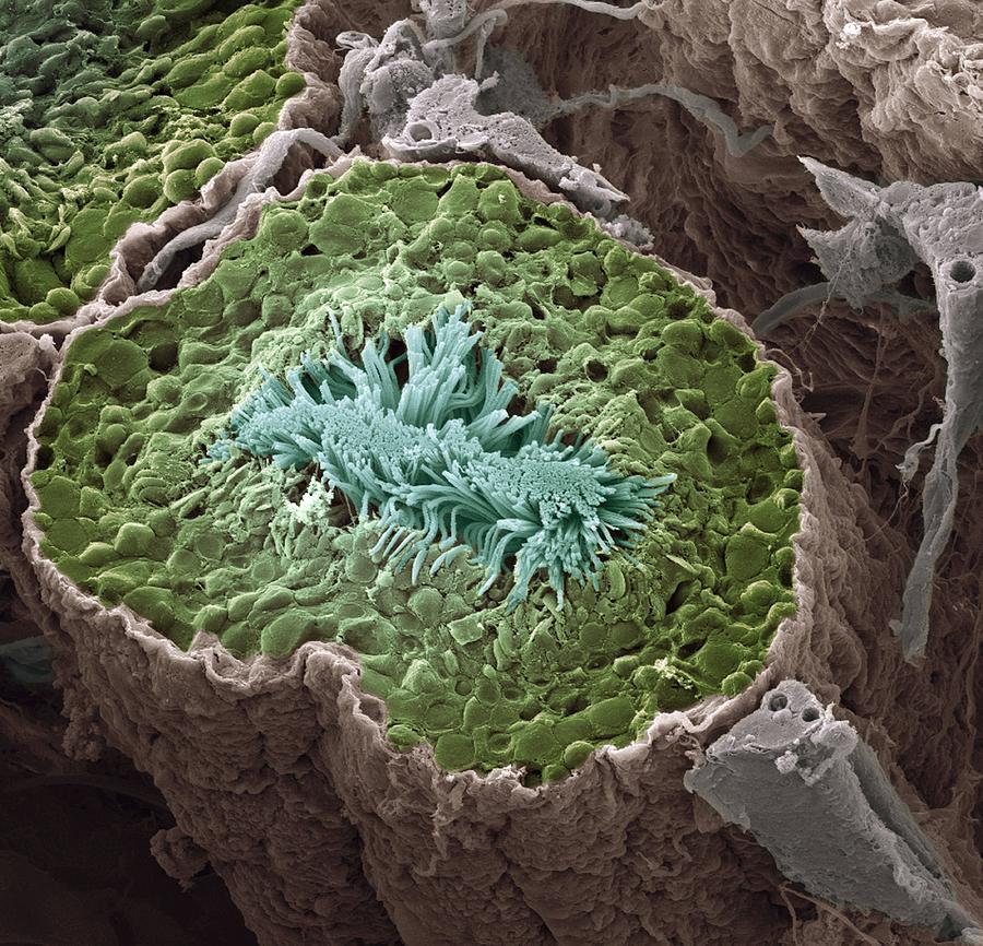 Seminiferous Tubule Photograph - Sperm Production, Sem by Steve Gschmeissner