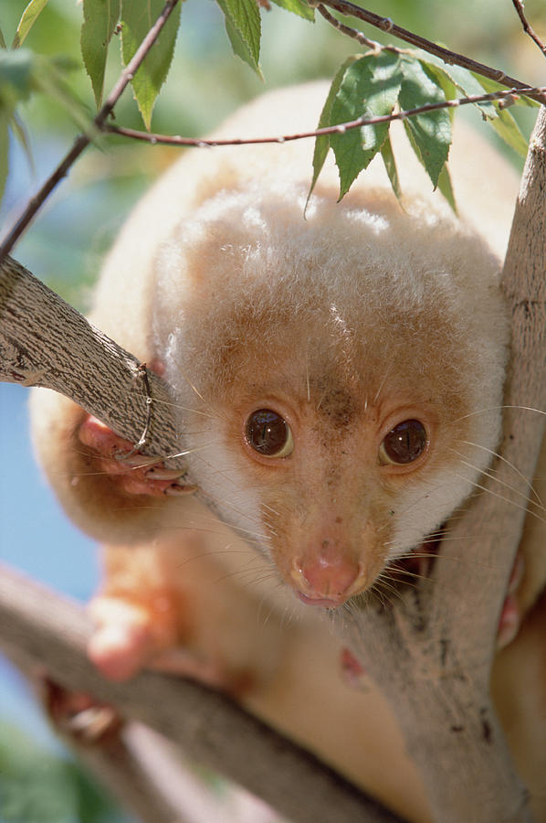 Spotted Cuscus Phalanger Maculatus is a photograph by Konrad Wothe ...