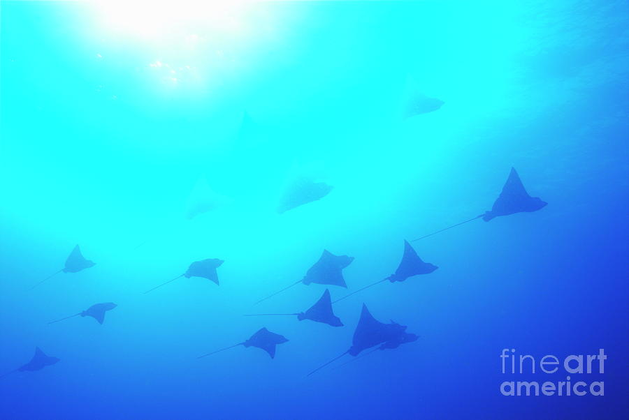 Freedom Photograph - Spotted Eagle Rays by Sami Sarkis